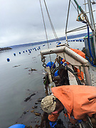 Spring cleaning on the oyster farm.  Kelp can grow up to 4' a day and can pull a farm down if let go too long.