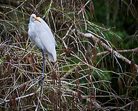 Great Egret perched in the brush in Big Cypress Swamp. Image taken with a Nikon D700 camera and 28-300 mm Vr lens (ISO 200, 300 mm, f/6.3, 1/320 sec).