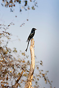 Black Drongo, Dicrurus macrocercus, bird in Ranthambhore National Park, Rajasthan, Northern India