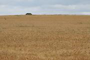 barley, crop, harvest, arable, farming, field, wheaten, flour, ripe,