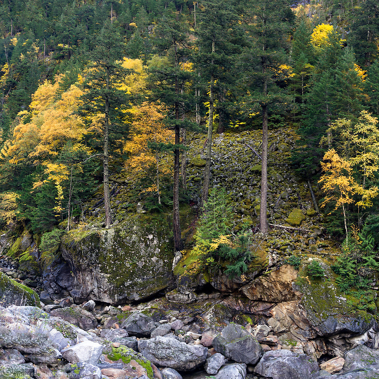Fall foliage color on the hillside above Skagit River in North Cascades National Park, Washington State, USA