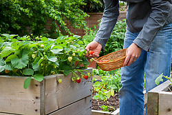 Harvesting strawberries from a raised bed into a wicker basket. Fragaria x ananassa