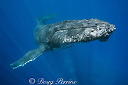 humpback whale, Megaptera novaeangliae, curious young male, Ha'apai, Kingdom of Tonga, South Pacific