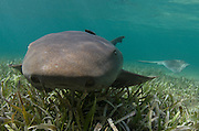 Nurse Shark (Ginglymostoma cirratum) over Turtle grass (Thalassia testudinum)<br /> Lighthouse Reef Atoll<br /> Belize Barrier Reef<br /> Second largest barrier reef system in the world<br /> BELIZE, Central America
