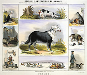 The Dog: Collie sheepdog; Newfoundland for water rescue; Deerhound for hunting; St Bernard rescuing travellers in the snow; Husky pulling a sledge; Dog skin for boots;  Guard dog to deter burglars. Hand-coloured lithograph by Waterhouse Hawkins published London c1850. From 'Graphic Illustrations of Animals and Their Utility to Man'.
