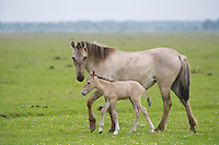Konik horse, mare (female) and young foal. Oostvaardersplassen, Netherlands. Mission: Oostervaardersplassen, Netherlands, June 2009.
