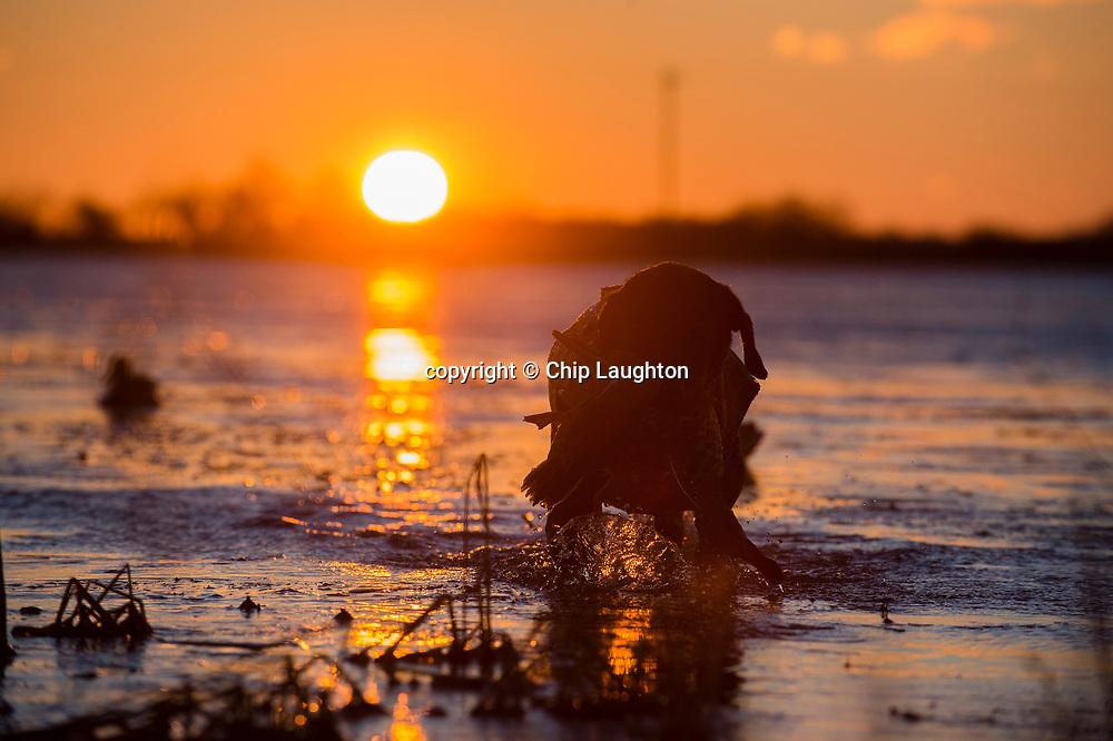 waterfowl hunting stock photo image