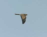 Levant Sparrowhawk - Accipiter brevipes