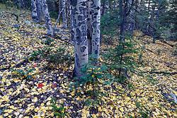 Aspen trunks and fallen autumn aspen leaves  along Elk Creek near Ash Mountain, Vermejo Park Ranch, New Mexico, USA.