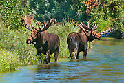 Bull moose cooling off in a side channel on a hot summer day in Grand Teton National Park.