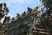 San Jose community members, most cacao growers affiliated to the TCGA, help thatch the roof of TCGA member Catarino Tzub's new home. Toledo Cacao Growers' Association (TCGA), San Jose, Toledo, Belize. January 25, 2013.