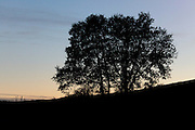 silhouetted tree during sunset