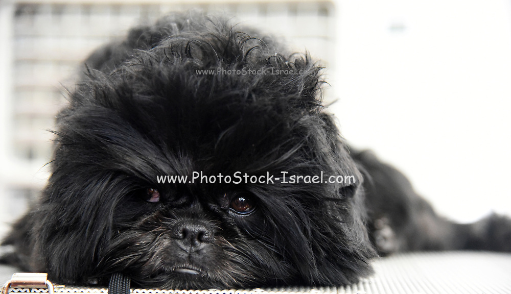 The Affenpinscher (translated from German as Monkey-Terrier) is a peppy dog that has the face and impish nature of a monkey. This wire-haired terrier-like breed acts like a bigger dog as he proudly struts around. The coat of an Affenpinscher is usually black