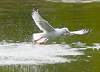 Seagull catching hooligan in the Taiya River near Skagway, AK