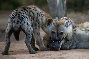 Spotted hyena (Crocuta crocuta) at den with cubs<br /> Marataba, A section of the Marakele National Park<br /> Limpopo Province<br /> SOUTH AFRICA<br /> RANGE: Southern & East Africa