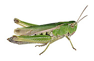Common Green Grasshopper - <br /> Omocestus viridulus