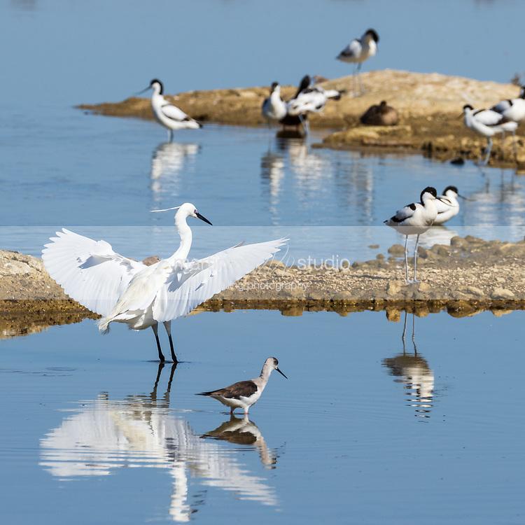 Little Egret<br /> Natural Park S'Albufera de Mallorca<br /> Muro, Mallorca, Baleares, Spain