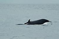 Unidentified dolphin species<br /><br />Coiba Island<br />Coiba National Park<br />Panama