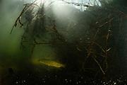 Northern pike ( Esox lucius), lurking in lake, Germany   Hecht (Esox lucius) lauert versteckt im See. Deutschland