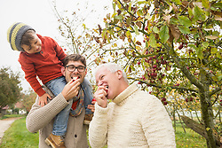 Son watching his father and grandfather eating  apple in an apple orchard, Bavaria, Germany