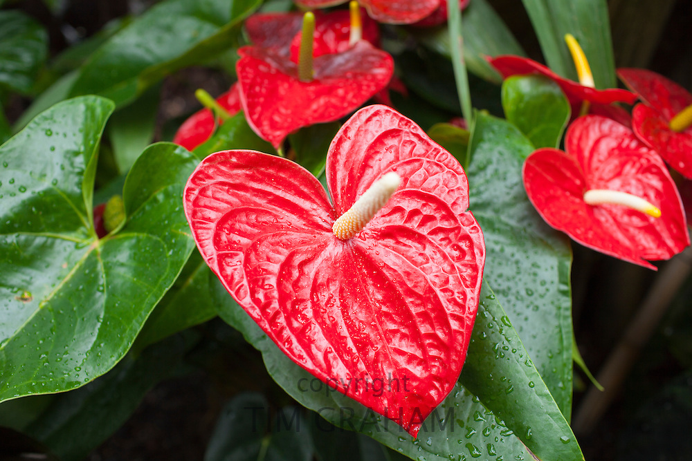 Red Anthurium tropical plant, of arum Araceae group of plants. Also known as Flamingo Flower or Boy Flower