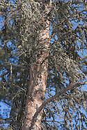 Photo Randy Vanderveen.Grande Prairie, Alberta.A pine tree peeled by woodpeckers searching for Mountain Pine Beetle larvae to eat.