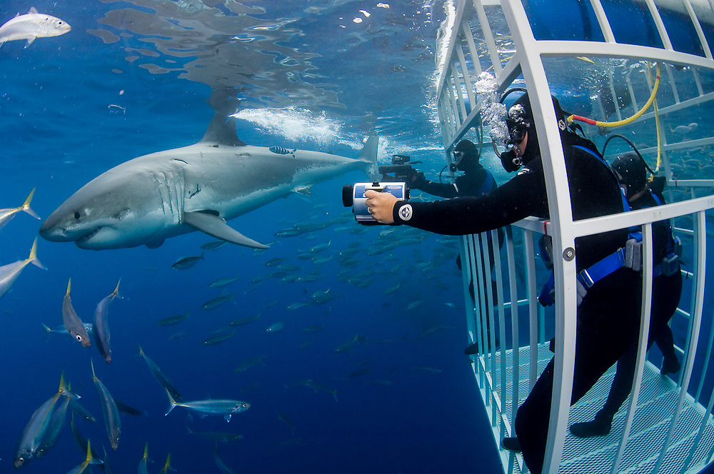 Shark cage diving for Great Whites (Carcharodon carcharias) in Guadalupe Island, Mexico. Located in the Eastern Pacific offshore Baja, Guadalupe attracts white sharks from June through December. Males are first to arrive, followed later in the year by females. The seasonal shark concentration many photographers  and enthusiasts.