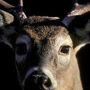 Whitetail Deer, (Odocoileus virginianus) Close-up of portrait of buck. Fall rut.