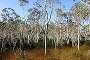 NOUVELLE CALEDONIE,  Forêt de Niaouli - Borendi - Thio - 2014-03