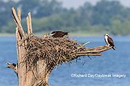 00783-01911 Osprey (Pandion haliaetus) feeding chick at nest Rend Lake Jefferson Co. IL