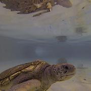 Green Sea Turtle inside tank. Grand Cayman Island.