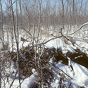 Black Bear, (Ursus americanus) Minnesota, old pile of brush left by loggers becomes den for sow with newborn cubs. Spring.