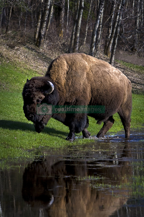 July 21, 2019 - Buffalo By River Bank (Credit Image: © Richard Wear/Design Pics via ZUMA Wire)