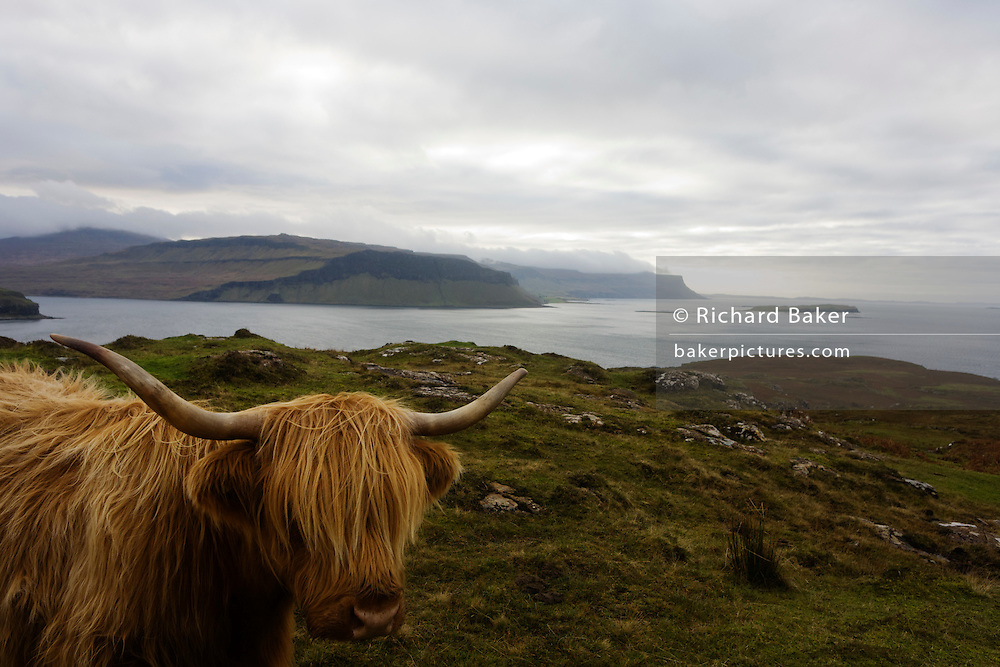 Longhorn cow overlooking Loch Na Keal, near Araronich, Isle of Mull, Scotland.