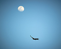 Turkey Vulture soaring under the Moon in Big Cypress Swamp. Image taken with a Nikon D3s camera and 70-200 mm f2.8 lens (ISO 200, 200 mm, f/2.8, 1/5000 sec).