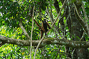 Common Woolly Monkey (Lagothrix lagothricha) Mother and Baby<br /> Yasuni National Park, Amazon Rainforest<br /> ECUADOR. South America<br /> HABITAT & RANGE: Forests of Upper Amazon Basin of Colombia, Ecuador, Peru and Brazil. <br /> IUCN STATUS: Cites II, Endangered species.