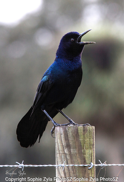 """Boat-tailed Grackle """"sing a song"""""""