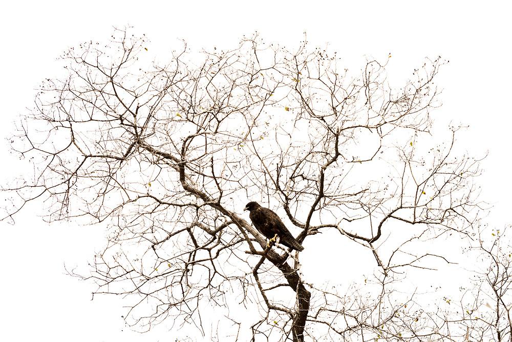 Galapagos hawk (Buteo galapagoensis) perched in a beautiful, bare tree, Isabela Island, Galapagos, Ecuador.