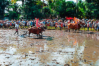 Bali, Buleleng, Lovina. Bullracing on Lovina, North Bali.