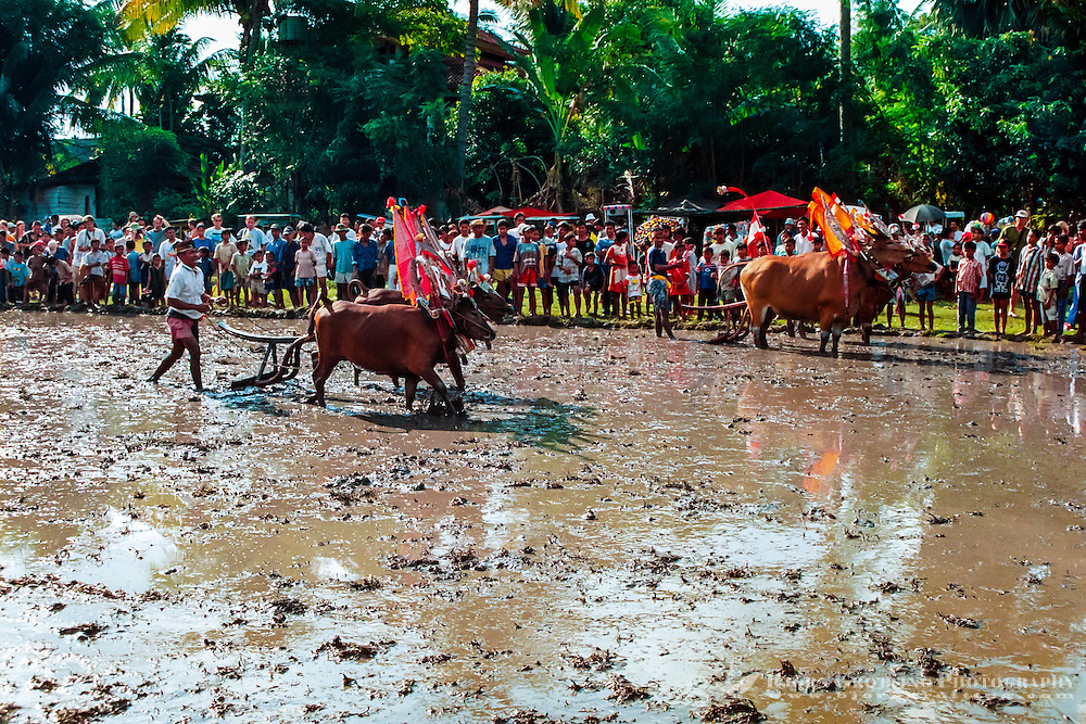 Bali, Buleleng, Lovina. Bullracing on Lovina, North Bali.