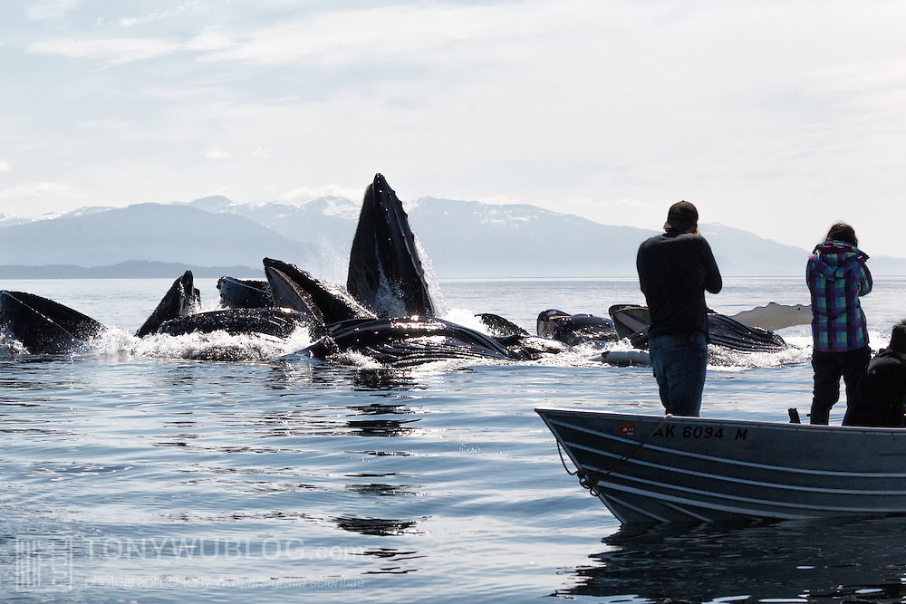 Humpback whales (Megaptera novaeangliae kuzira) bubble-net feeding in Chatham Strait, Alaska, in front of a dinghy with tourists enjoying the show.