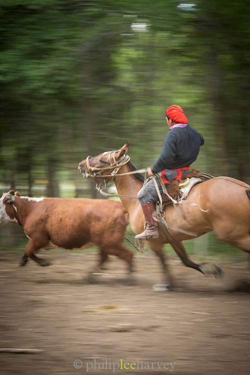 Gaucho riding on horseback chasing calf, Estancia Huechahue, Patagonia, Argentina, South America