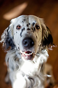 "English Setter ""Rudy"" am 14.02. 2019 in Lysa nad Labem, (Tschechische Republik).  Rudy wurde Anfang Januar 2017 geboren."