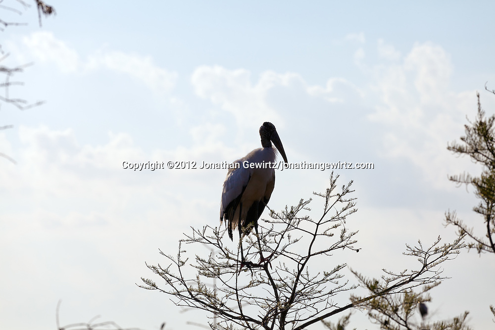 A Wood Stork (Mycteria americana) perches in a cypress tree in Everglades National Park, Florida. WATERMARKS WILL NOT APPEAR ON PRINTS OR LICENSED IMAGES.