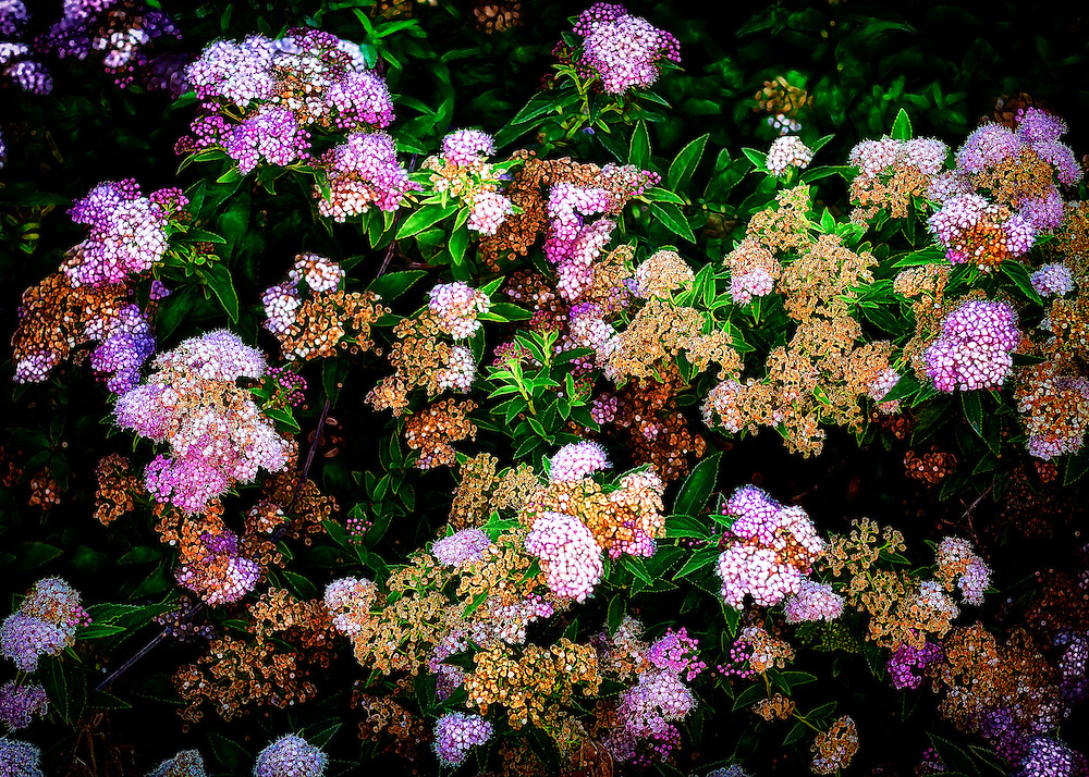A fun flowering bush with glowing petals contrasted against a dark background with purple, pink and cream florets.