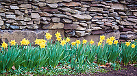 Daffodils. Image taken with a Nikon N1V3 camera and 70-300 mm VR lens