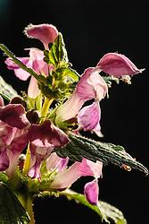 Gevlekte dovenetel, Lamium maculatum