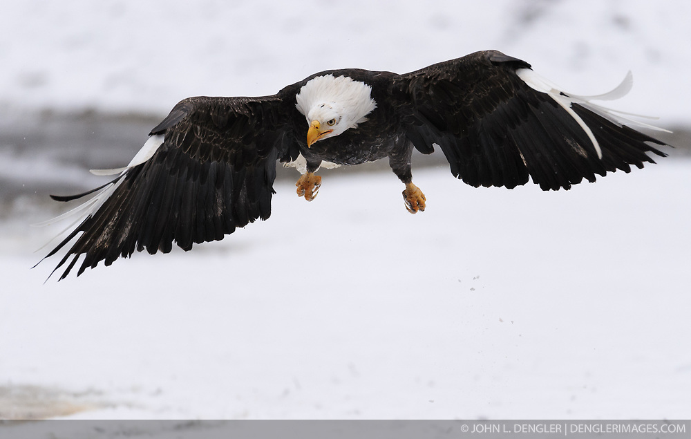 A bald eagle (Haliaeetus leucocephalus) with white wing tips and white talons flies above the Chilkat River in the Alaska Chilkat Bald Eagle Preserve near Haines, Alaska. The white wing tips and talons are caused by a leucistic condition -- a condition of reduced pigmentation resulting in white patches. These patches of white can occur while the rest of the animal is colored normal. Unlike albinism, the eye color is normal. During late fall, bald eagles congregate along the Chilkat River to feed on salmon. This gathering of bald eagles in the Alaska Chilkat Bald Eagle Preserve is believed to be one of the largest gatherings of bald eagles in the world.