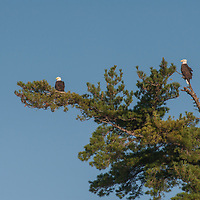 A Bald Eagle (Haliaeetus leucocephalus) perch in a tall white pine tree above Lake of the Woods, Ontario, Canada.