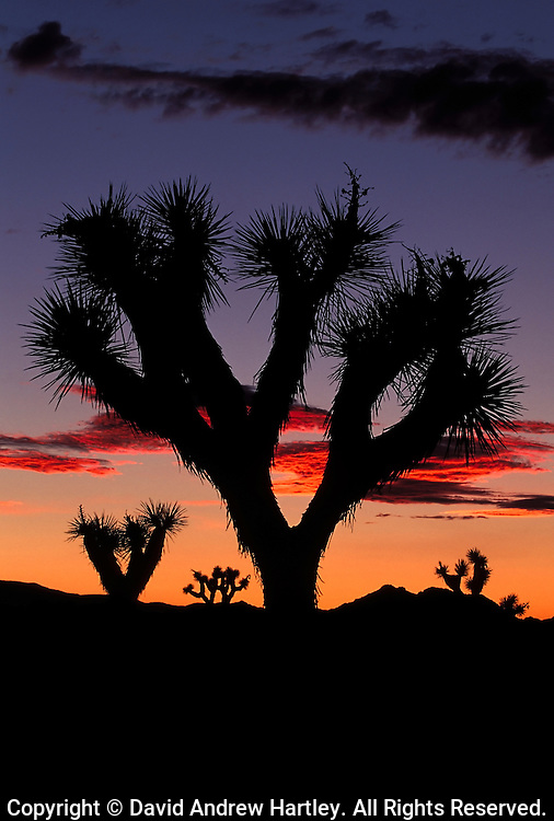 Silhouetted Joshua Tree (Yucca brevifolia), Joshua Tree National Park, California